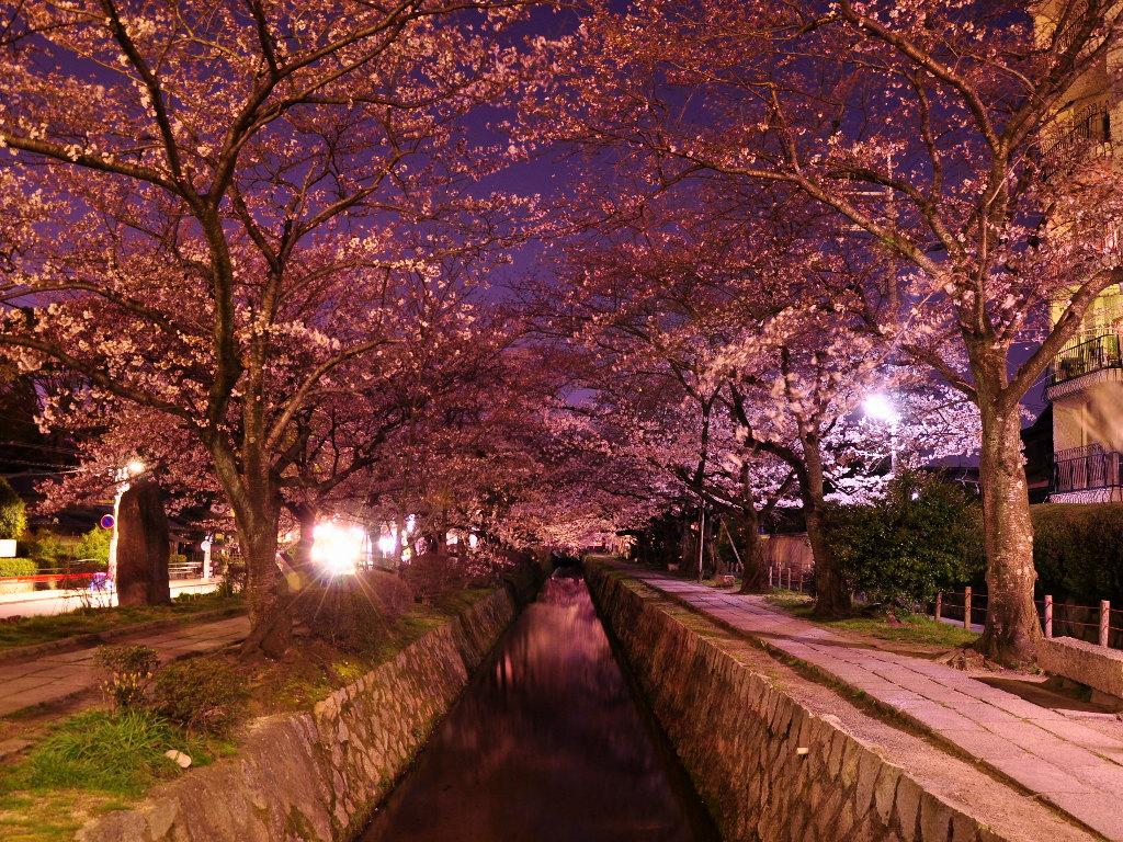 京都の桜 壁紙写真