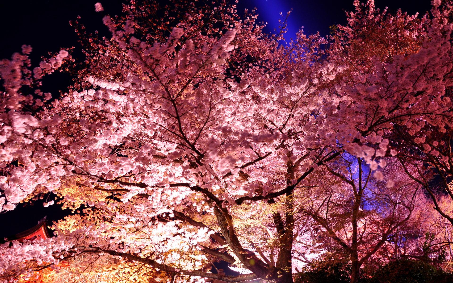 京都壁紙 清水寺 桜ライトアップの夜景