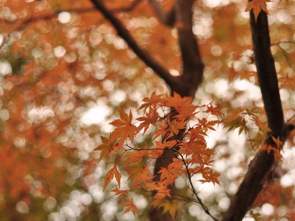 京都の紅葉 壁紙写真